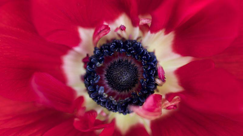 Red flower, Closeup, Macro, Blossom, Bloom, Spring, Floral, Petals, Red background, 5K, Wallpaper