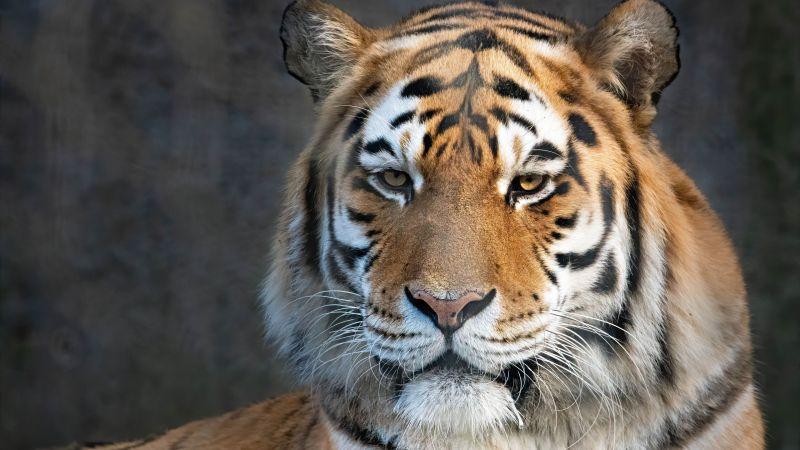 Bengal Tiger, Portrait, Close up, Wallpaper