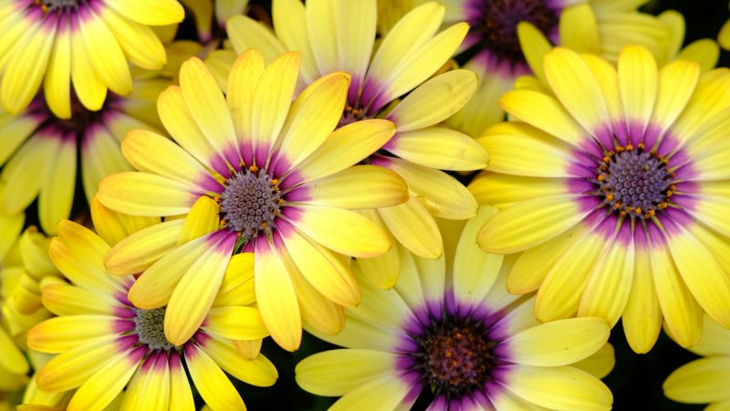 Yellow Daisies, Blossom, Bloom, Spring, Yellow flowers, Close up, Purple, Floral Background, 5K, Wallpaper