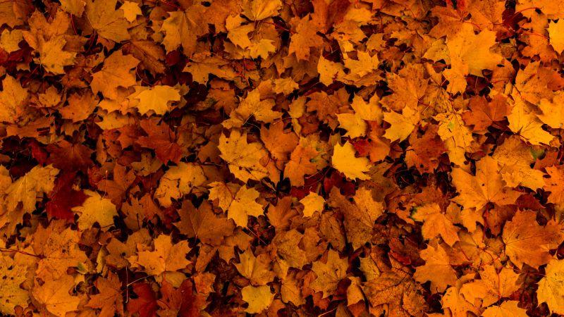 Fallen Leaves, Autumn, Maple leaves, Texture, Foliage, Seasons, 5K, Wallpaper