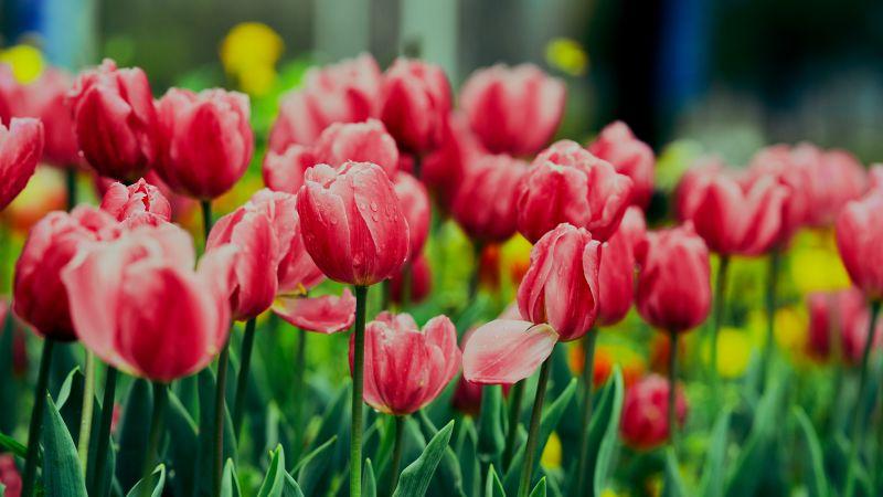 Pink Tulips, Flower garden, Greenery, Wet Flowers, Blossom, Bloom, Floral, 5K, 8K, Wallpaper