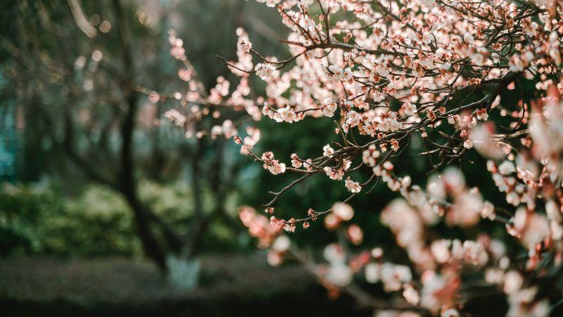 Cherry blossom, Bokeh, Blur background, Selective Focus, Pink flowers, Spring, 5K, 8K, Wallpaper