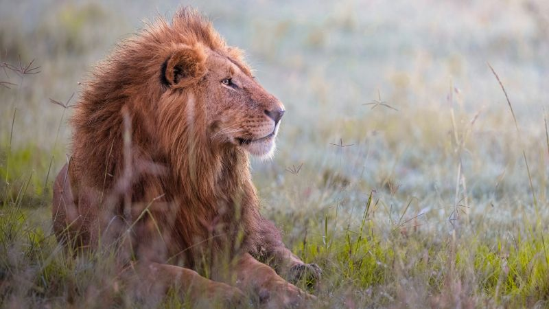 Lion, Predator, Grass field, 5K, 8K, Wallpaper