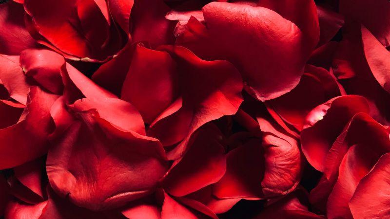 Red Rose, Rose Petals, Floral, Red background, Wallpaper