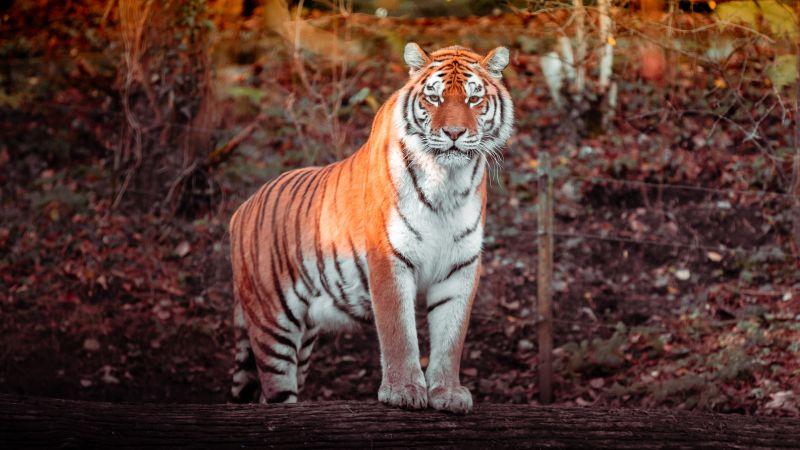 Tiger, Big cat, Carnivore, Predator, Forest, Zoo, Tree Trunks, Daytime, Panorama, Wildlife, 5K, Wallpaper