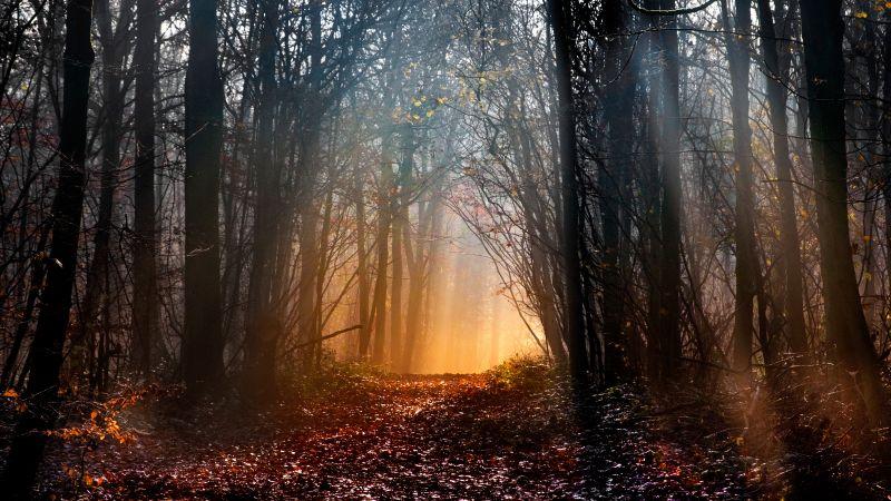 Woodland, Early Morning, Sun light, Forest path, Trees, Woods, Landscape, Fallen Leaves, 5K, Wallpaper