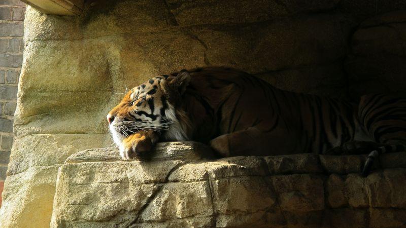 Sleeping Tiger, Rock, Big cat, Carnivore, Predator, Sun light, Zoo, Wallpaper