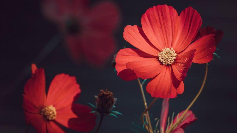 Orange Flowers, Summer, Blossom, Bloom, Aesthetic, Wallpaper