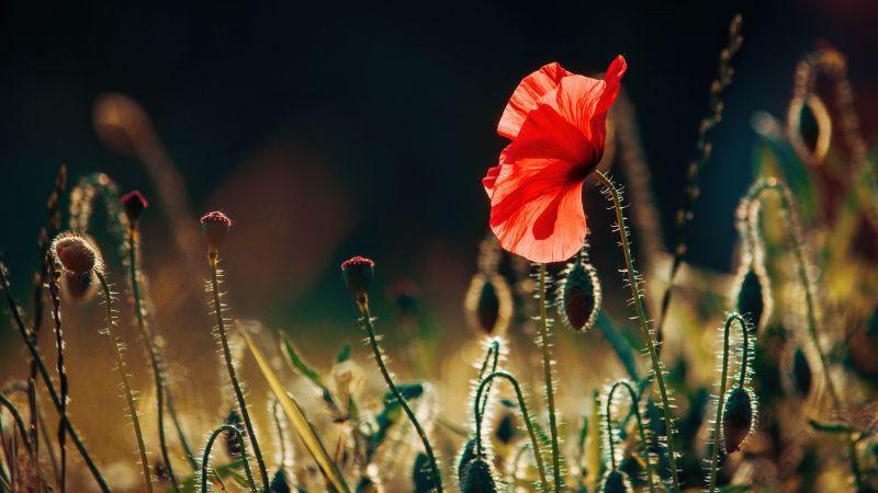 Poppy flower, Landscape, Bloom, Wallpaper