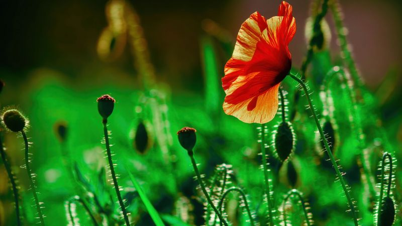 Poppy flower, Landscape, Green, Bloom, Wallpaper