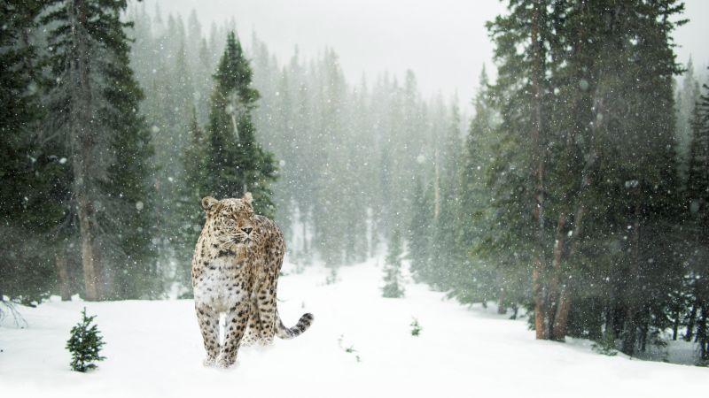 Leopard, Snow, Winter, Forest, Snow leopard, Pine trees, 5K, Wallpaper