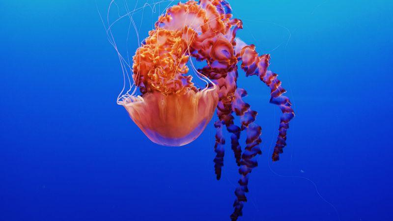 Jellyfish, Monterey Bay Aquarium, Underwater, Monterey, California, 5K, Wallpaper