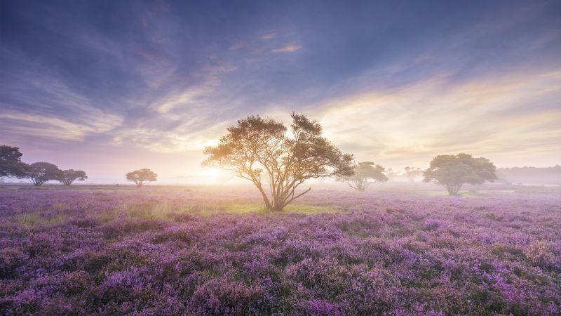 Spring, Sunrise, Bloom, Purple Flowers, Heath, Girly, Wallpaper