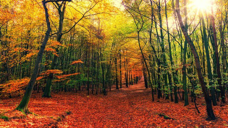 Forest, Autumn, Sunny day, Foliage, Sunlight, 5K, Wallpaper