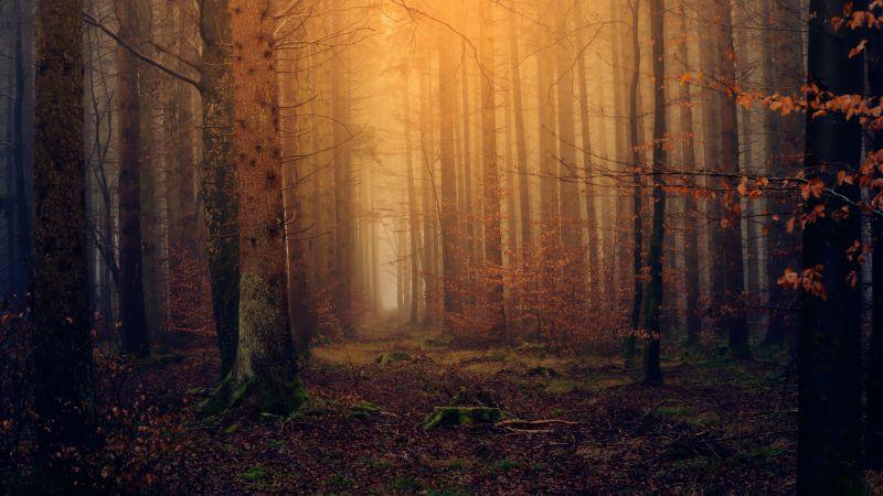 Forest, Autumn, Fall Foliage, Mist, Foggy, Dark, 5K, Wallpaper