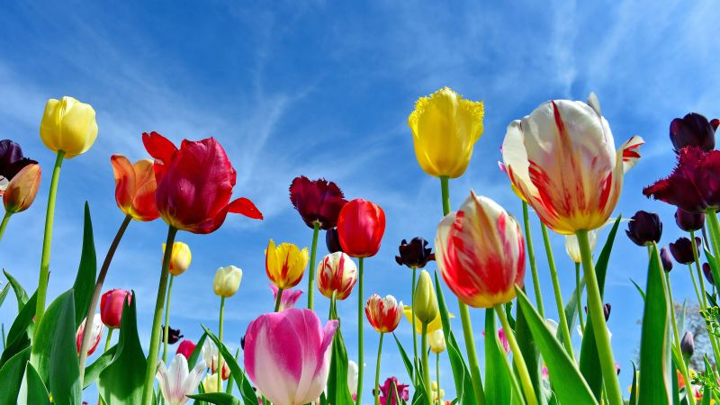 Tulips, Colorful flowers, Blue Sky, Spring, 5K, Wallpaper