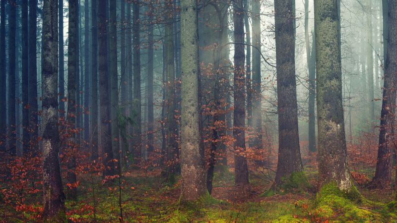Forest, Woods, Daylight, Fall, Dawn, 5K, Wallpaper