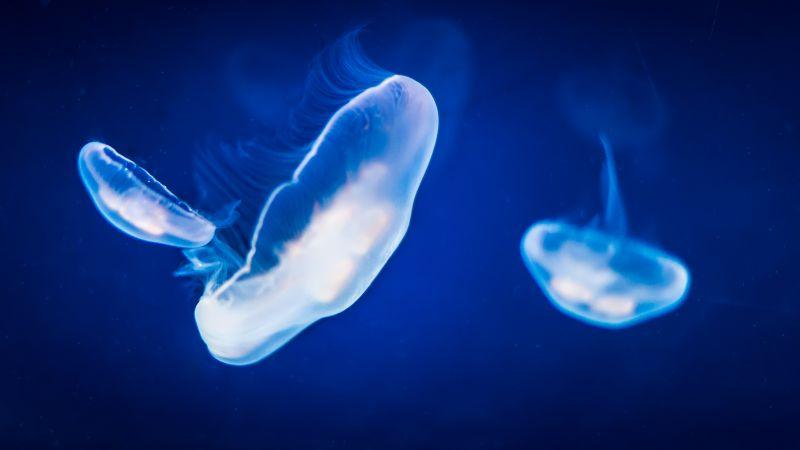 Jellyfishes, Underwater, Blue, Under the Sea, 5K, Wallpaper