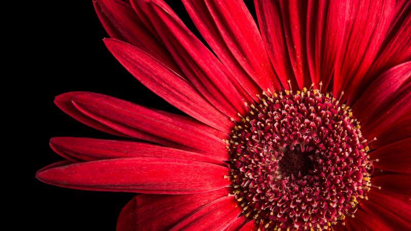 Gerbera Daisy, Red flowers, Black background, AMOLED, Closeup, Macro, Wallpaper