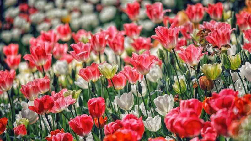 Pink flowers, White flowers, Garden, Floral Background, Blossom, Spring, 5K, Wallpaper