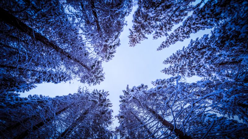 Snowy Trees, Forest, Winter, Looking up at Sky, Upward, Seasons, 5K, Wallpaper