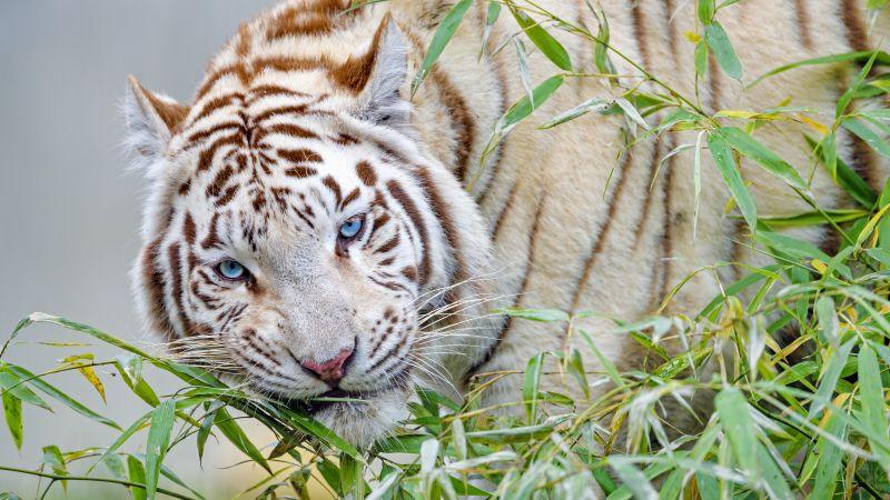White tiger, Bamboo Leaves, Zoo, Wild animal, Big cat, Carnivore, Predator, 5K, Wallpaper