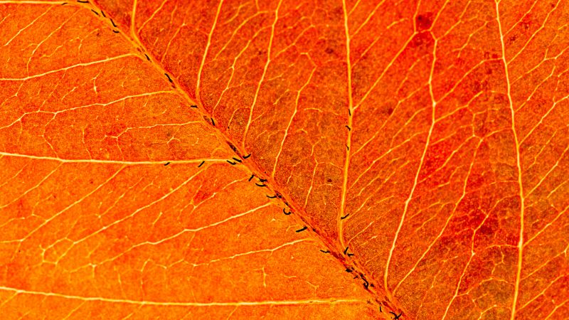 Orange Leaf, Macro, Closeup, Pattern, Texture, Wallpaper