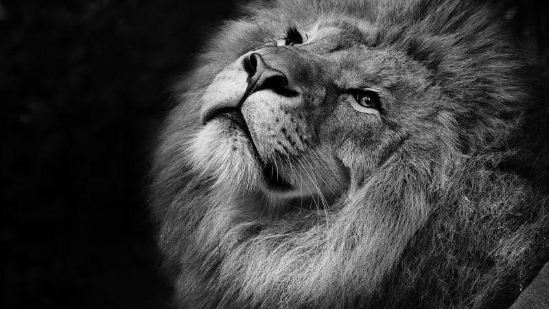 African Lion, Black background, Wild animal, Portrait, Predator, Carnivore, Grayscale, Closeup, Feline, Wallpaper