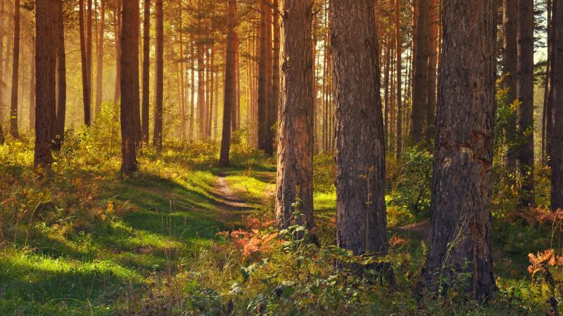 Tree Trunks, Woods, Forest path, Trails, Sun rays, Scenery, Glade, Wallpaper