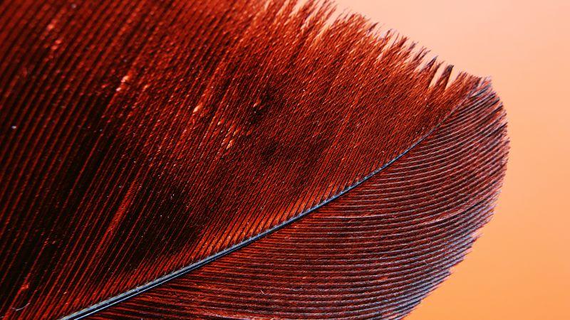 Red Feather, Bird, Macro, Pattern, Closeup, 5K, Wallpaper