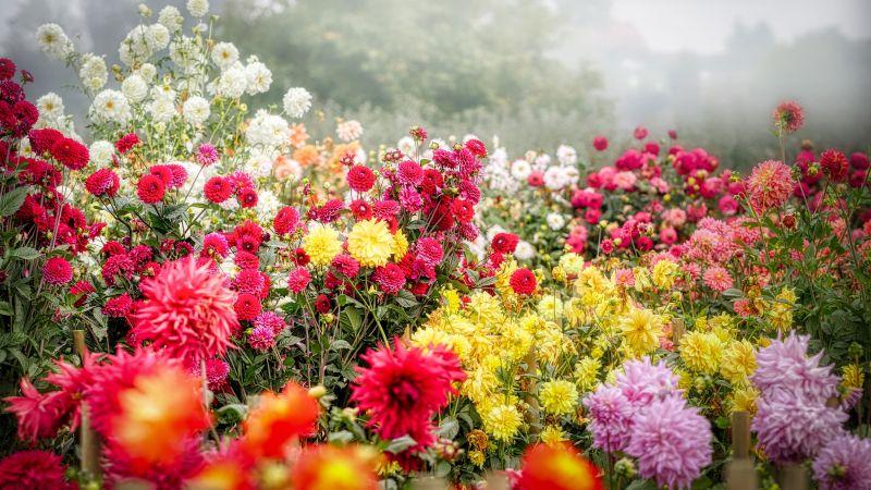 Dahila flower, Blossom, Bloom, Flower garden, Colorful, Fog, Floral Background, 5K, Wallpaper