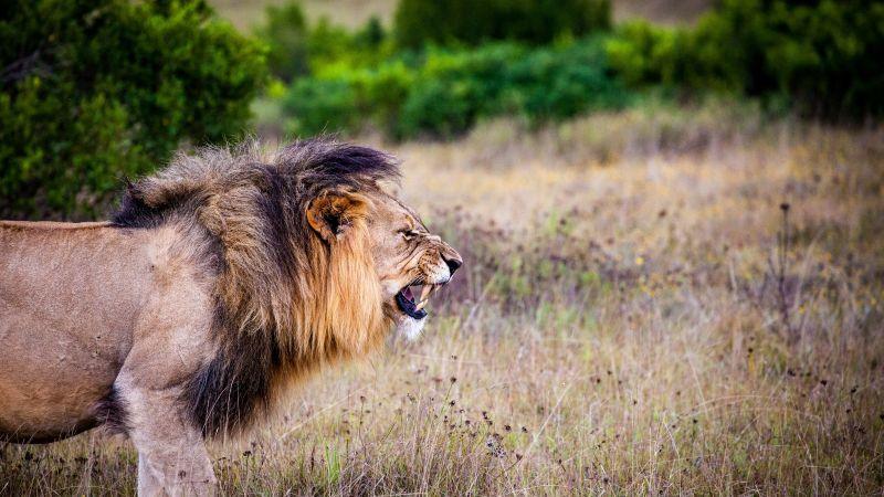 Lion, Roaring, National Park, Wild animals, 5K, Wallpaper