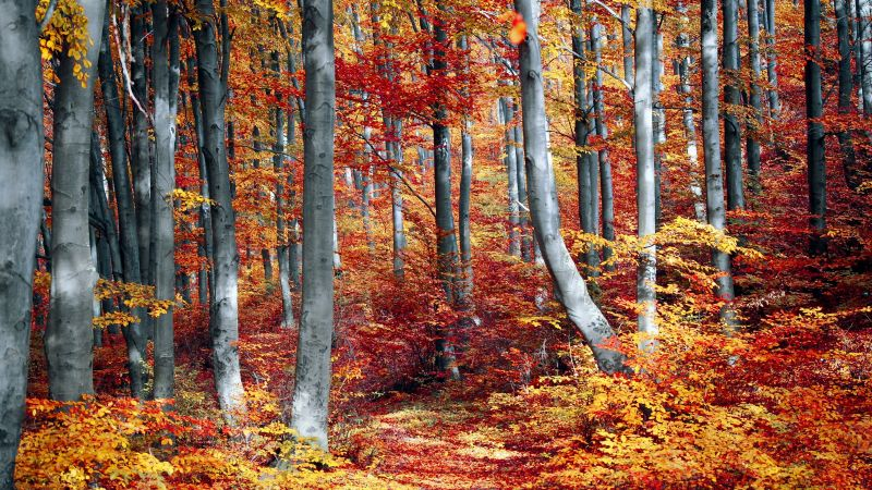 Autumn Forest, Woods, Trees, Fall, Seasons, Colourful, Foliage, Landscape, Scenery, Wallpaper