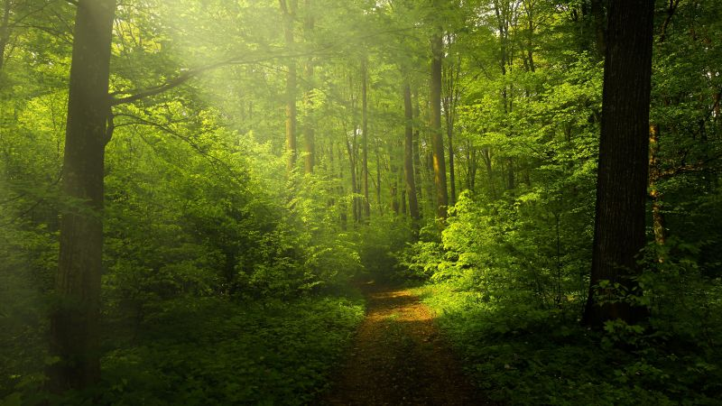 Green Forest, Woods, Trails, Pathway, Sun rays, Glade, Scenery, Landscape, Wallpaper