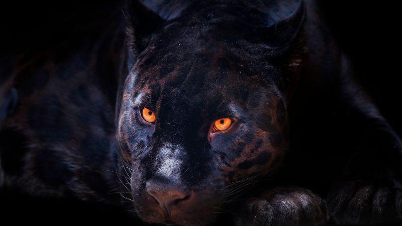 Black Panther, Dark background, Wild Cat, Scary, Feline, Big cat, Predator, Carnivore, 5K, 8K, Wallpaper