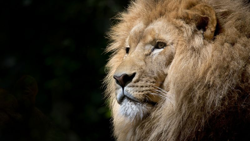 African Lion, Face, Big cat, Predator, Carnivore, Wild animal, Zoo, Feline, Portrait, Mane, Wallpaper