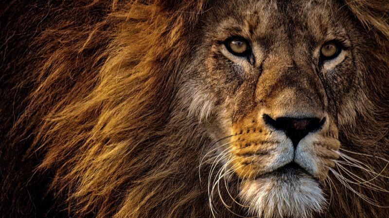 African Lion, Big cat, Dangerous, Wild animal, Portrait, Predator, Carnivore, Closeup, Wallpaper