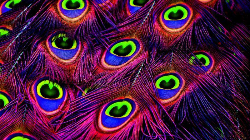 Peacock feather, Plumage, Peacock Wheel, Purple, Vibrant, Colorful, Wallpaper