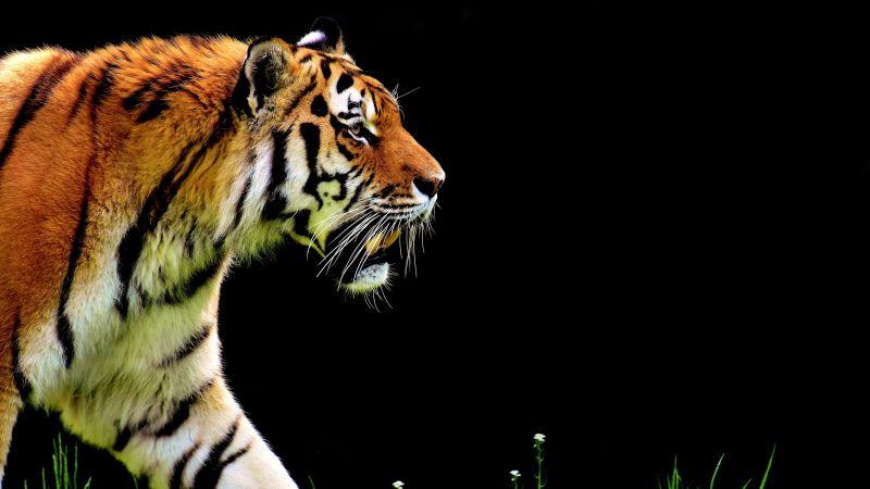 Tiger, Big cat, Black background, Fur, Predator, Carnivore, Feline, Wild animal, 5K, Wallpaper