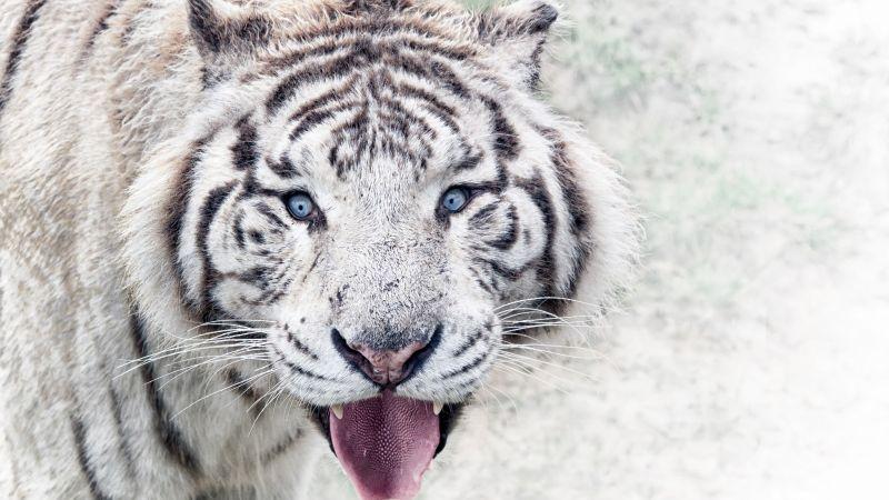 White tiger, Wild animal, Big cat, Predator, Carnivore, Closeup, Zoo, Wallpaper