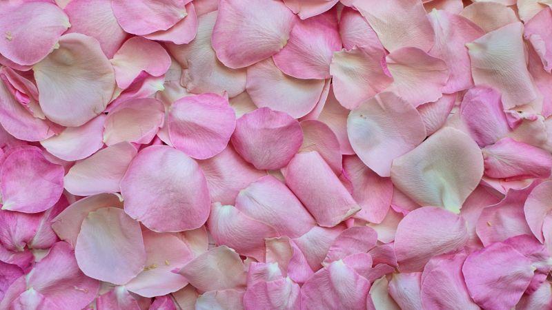 Rose Petals, Pink, Floral Background, Love, 5K, Wallpaper