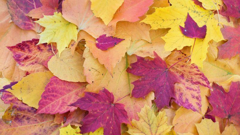 Maple leaves, Autumn Fall, Foliage, Seasons, Fallen Leaves, Colorful, Leaf Background, 5K, Wallpaper