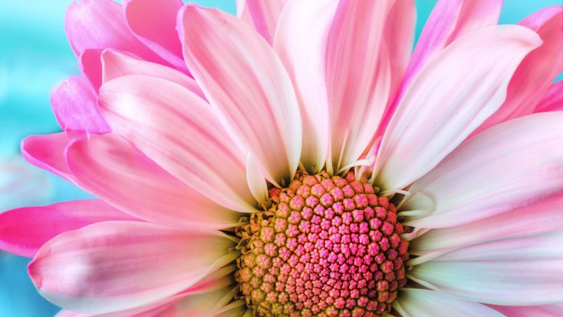 Pink Daisy, Macro, Flora, Petals, Blossom, Bloom, Spring, Closeup, 5K, Wallpaper