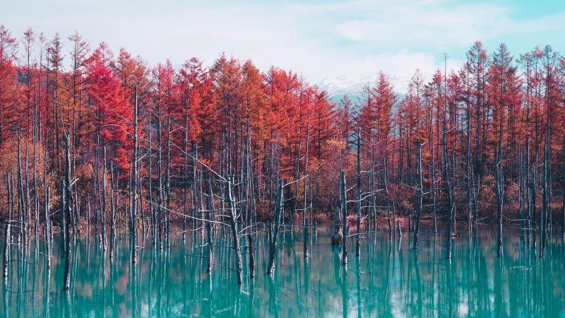 Shirogane Blue Pond, Hokkaido, Japan, Red Trees, Autumn, Body of Water, Reflection, Blue lake, Landscape, Scenery, 5K, Wallpaper