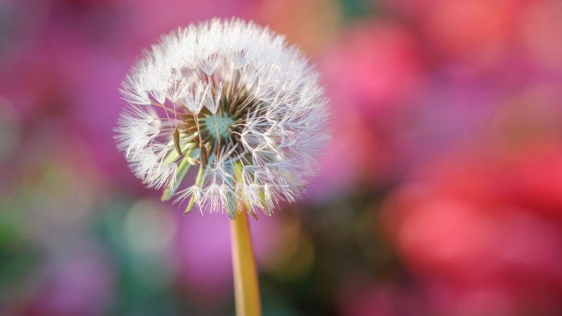 Dandelion flower, Blur background, Selective Focus, Bokeh, Closeup, 5K, Wallpaper
