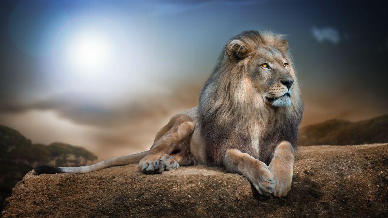 African Lion, Big cat, Carnivore, Predator, Animal Portrait, Blur background, Wild animal, 5K, Wallpaper