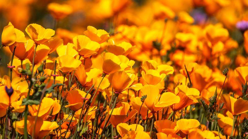 Poppy flowers, Floral Background, Yellow flowers, Blossom, Spring, Bloom, 5K, 8K, Wallpaper