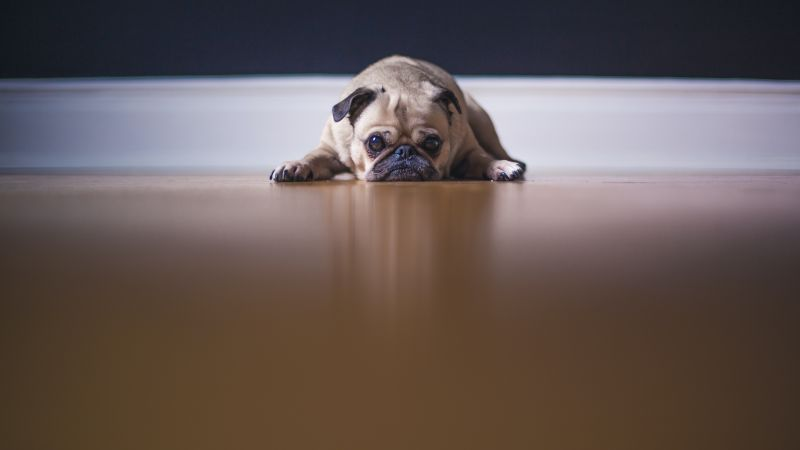 Fawn Pug, On the floor, Pet dog, Stare, Canine, Puppy, 5K, Wallpaper