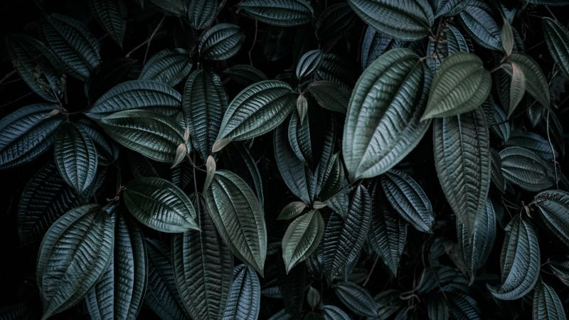 Leaf Background, Green leaves, Botanical, Low light Photography, 5K, Wallpaper
