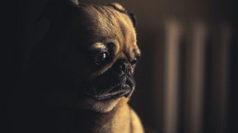 Fawn Pug, Pet dog, Canine, Animal Portrait, Selective Focus, Puppy, 5K, Wallpaper